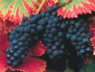 Monografia sull'uva