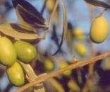 Olio d'olivo - oliva