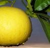 Pompelmo giallo
