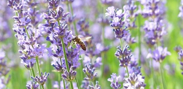 aromaterapia: lavanda